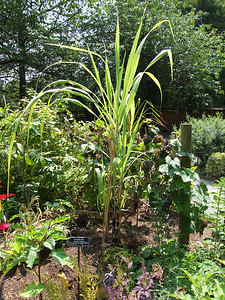 Sugar cane (Saccharum officinarum).