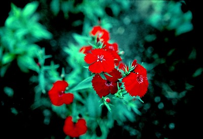 So impressed was I by the rich red of this dianthus that I raised this kind the following season.