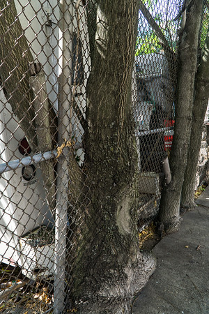 This tree grew up on both sides of the fence. on which side did it start?