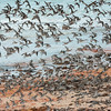 migratory birds flight