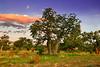 Boab tree,boab,kimberley,western australia,termite mounts,outback kimberley