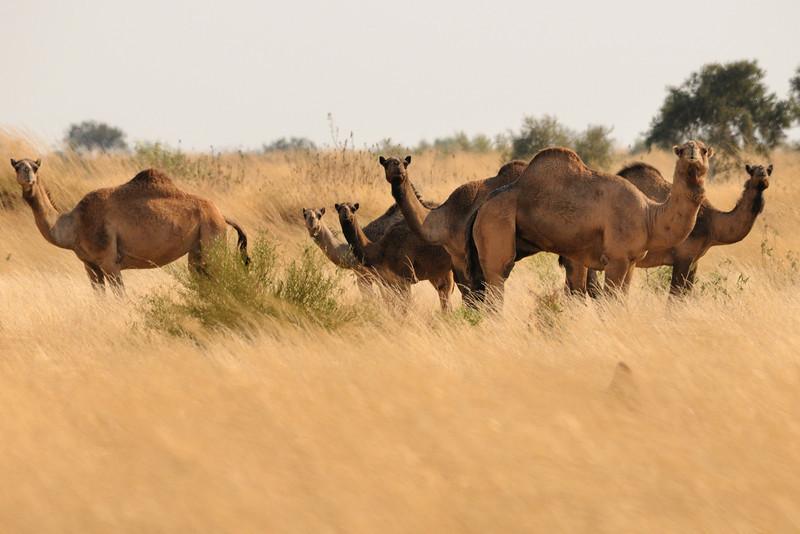 Wild camels 082011-00197-0658-