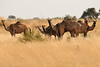 Wild camels 082011-00197-0658-