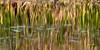 dancing reeds 0770_0005a copy