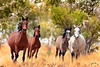 K3980734  a herd of Brumbies <br /> north Kimberley