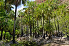 Pandanus forest, East Kimberley, western Australia<br /> K6090246