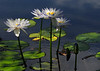 Just enough light to bring these waterlilies with a vibrant colours