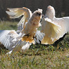 Corellas fighting over water droplets