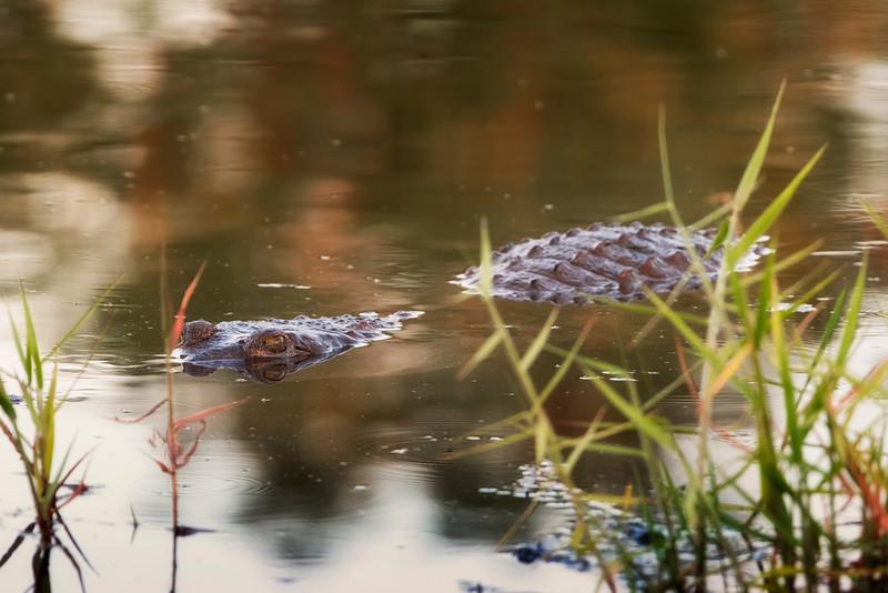 crocodile in the ord river