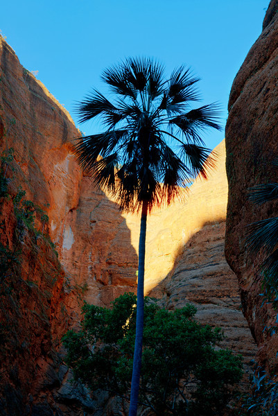 Palm tree at the mini Palm gorge, Purnululu national Park