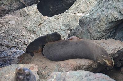 NZ January 2014 Cape Palliser Seals