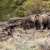 Pahaska Sow with cub