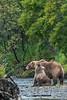 Mother and cub feeding on sockeye