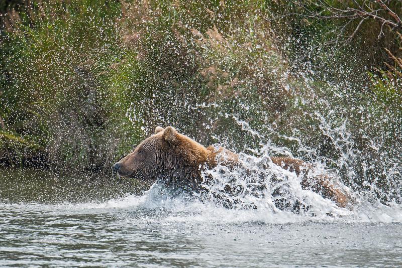 Brown Bears of Katmai National Preserve