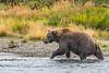 Alaskan Brown Bear emerging from Battle Creek