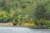Alaskan Brown Bears along Battle Creek