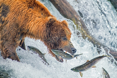 Brown Bears of Alaska