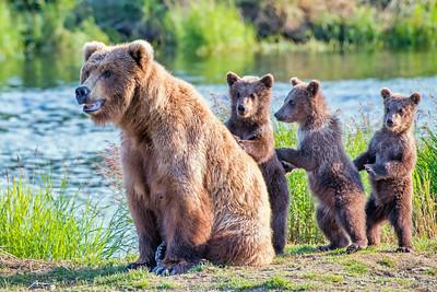 Brown Bears of Alaska