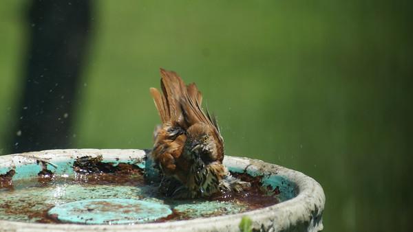 Brown Thrasher Bath