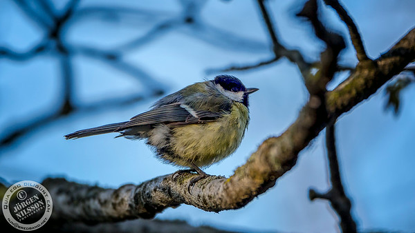 Parus major (a.k.a Great Tit)