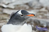 Gentoo Chick Up Close