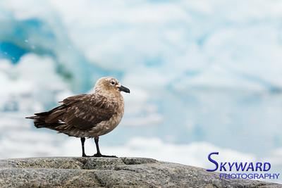 South Polar Skua Guarding The Nest
