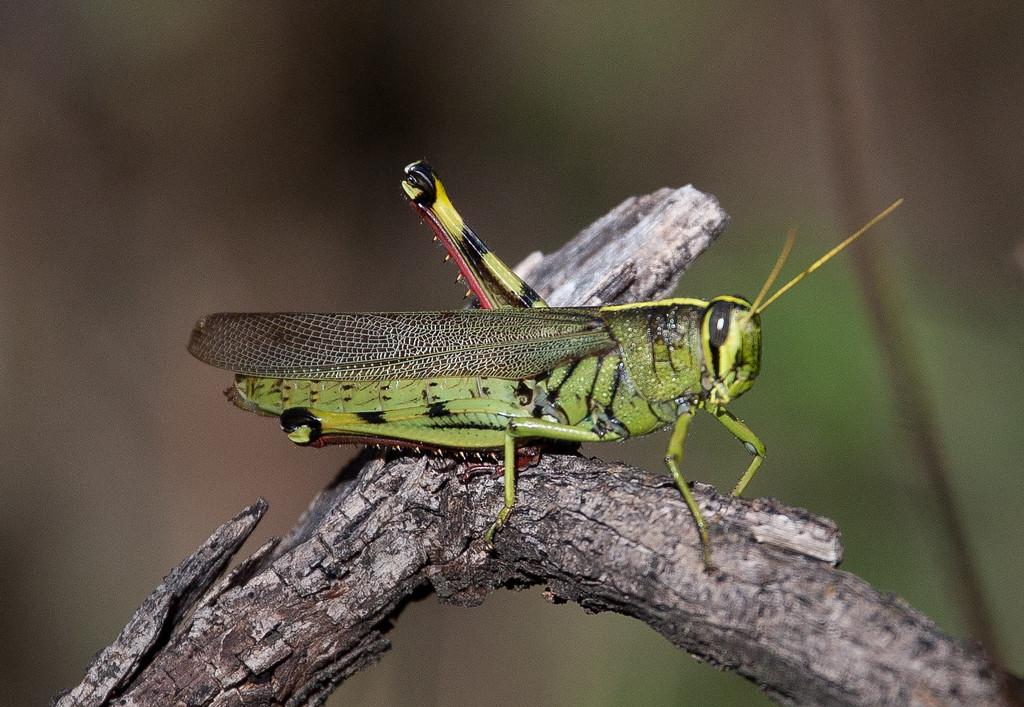 Grasshopper Tucson_10-10-26_7I2B0441