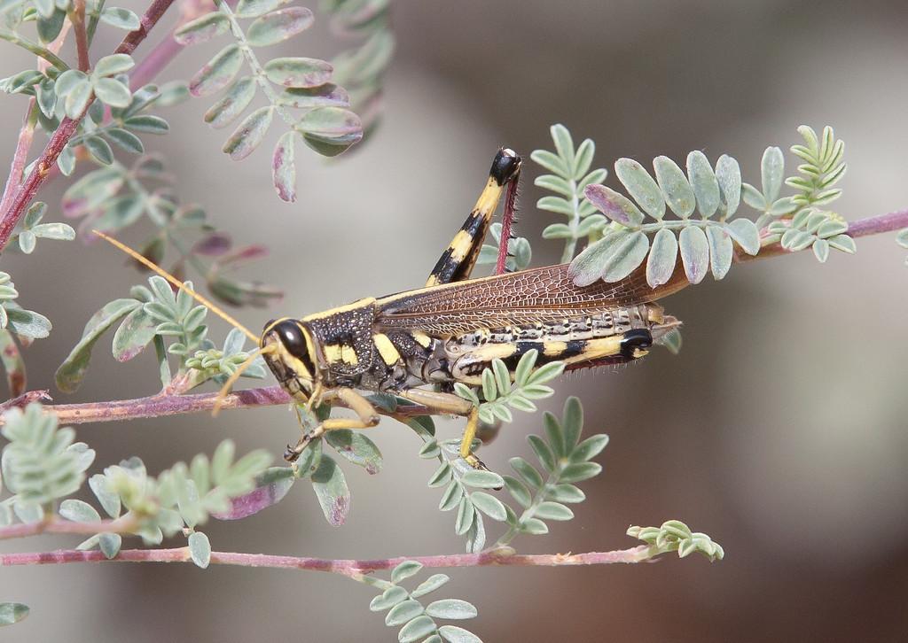 Grasshopper Tucson_10-10-25_IMG_2577