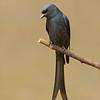 Ashy Drongo (Dicrurus leucophaeus)