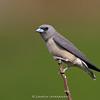 Ashy Woodswallow (Artamus fuscus)