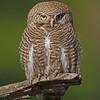 Asian Barred Owlet (Glaucidium cuculoides)