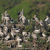Asian Openbill Stork (Anastomus oscitans)