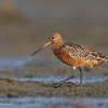 Bar-tailed Godwit (Limosa lapponica) - Breeding