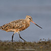 Bar-tailed Godwit (Limosa lapponica) - Transition to Breeding Plumage