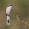 Bay-backed Shrike (Lanius vittatus)