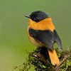 Black-and-orange Flycatcher (Ficedula nigrorufa)