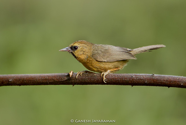 Black-chinned Babbler (Cyanoderma pyrrhops)