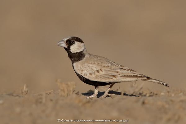 Black-crowned Sparrow-Lark (Eremopterix nigriceps)