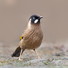 Black-faced Laughingthrush (Trochalopteron affine)
