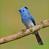 Black-naped Monarch Flycatcher (Hypothymis azurea)