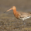 Black-tailed Godwit (Limosa limosa)  - Breeding