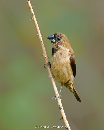 Black-throated Munia (Lonchura kelaarti)