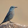 Blue Rock-thrush (Monticola solitarius)