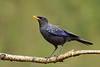 Blue Whistling-thrush (Myophonus caeruleus)