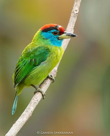 Blue-throated Barbet (Psilopogon asiaticus)