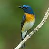 Blue-throated Blue-flycatcher (Cyornis rubeculoides)