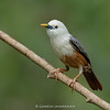 Blyth's Starling (Sturnia malabarica blythii)