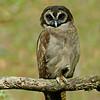 Brown Wood-owl (Strix leptogrammica)