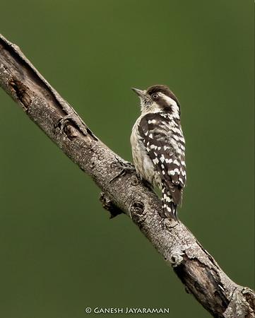 Brown-capped Pygmy Woodpecker (Dendrocopos nanus)