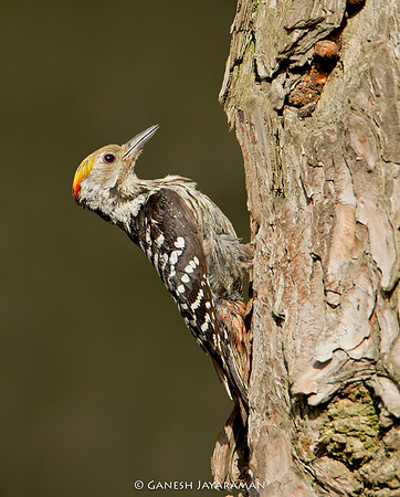 Brown-fronted Woodpecker (Dendrocoptes auriceps)